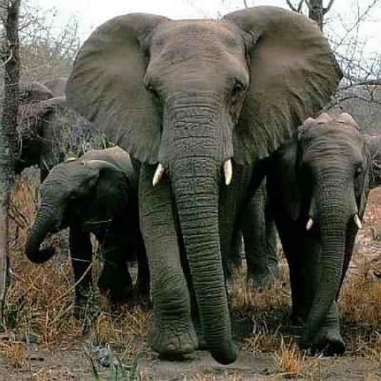 Army of Elephants 1