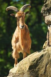 The Miraculous Goat 1