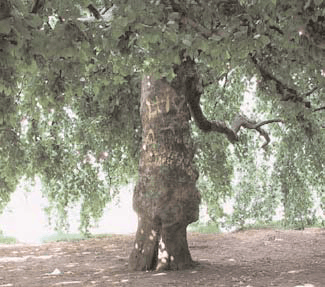 The travelers and the plane tree 1